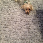 Pompano Beach-Dog-carpet-clean